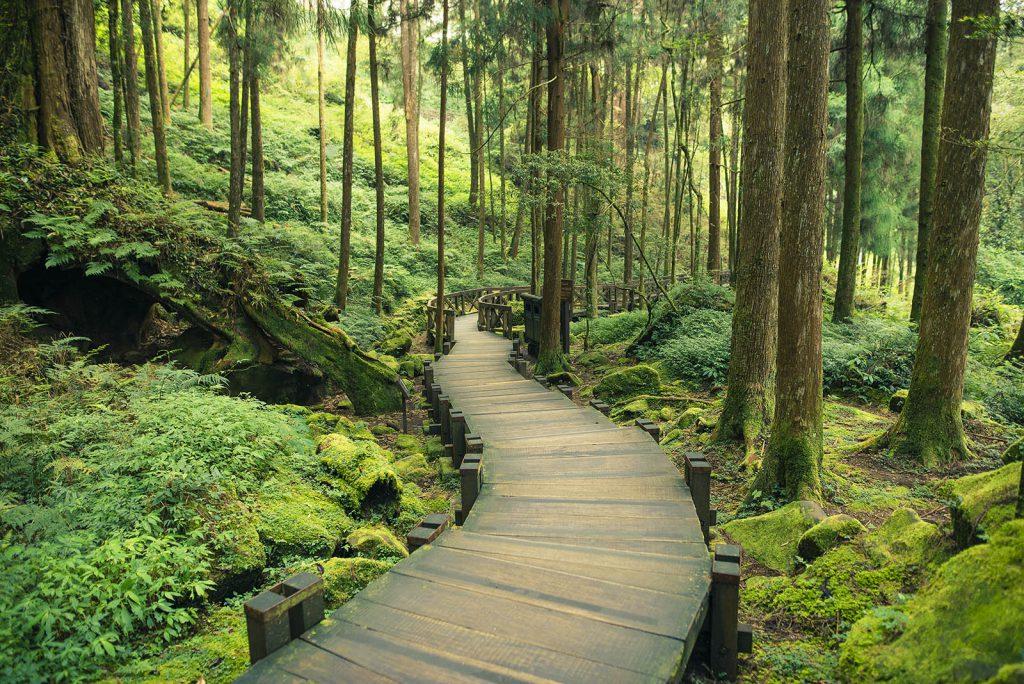 Taiwan Alishan Giant tree walk
